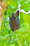 Honeybee swarm Stock Photo