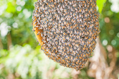 Honeybee swarm hanging Stock Image