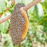 Honeybee swarm. Hanging on tree royalty free stock photos