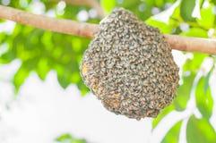 Honeybee swarm Stock Photos