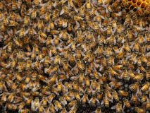 Honeybee tła obraz royalty free