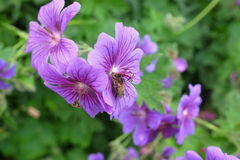Honeybee taking nectar from a geranium Royalty Free Stock Images