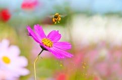 Honeybee taking off Royalty Free Stock Image