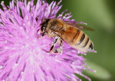 Honeybee on thistle Royalty Free Stock Images