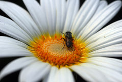 Honeybee on white daisy flower Stock Photography
