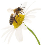 Honeybee and white flower. Head on a white background royalty free stock image