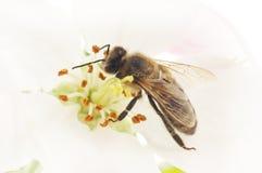 Honeybee and white flower Stock Images
