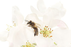 Honeybee and white flowers Royalty Free Stock Photo