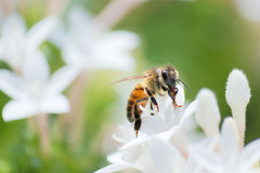 Honeybee Royalty Free Stock Image