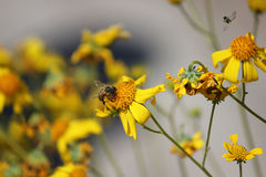 Honeybee on Wildflower. Honeybee pollinating wildflowers in Mesa, Arizona Stock Photos