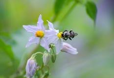 Honeybee on wildflower. Honeybee on purple wildflower in Monroe Georgia royalty free stock photo