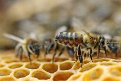 Honeybee. Work bees in hive. Bees convert nectar into honey and close it in the honeycomb. Selective focus. Soft focus with low DOF stock photos