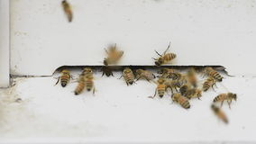 Honeybee working industrious. stock video