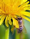 Honeybee on yellow blossom royalty free stock photos