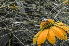 Honeybee on yellow Echinacea flower stock photo