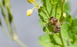 Honeybee on a yellow flower collecting pollen stock image