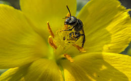 HONEYBEE on yellow flower EATING POLLEN. ON A SUNNY DAY Stock Images