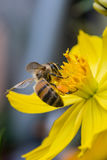 Honeybee in yellow flower Royalty Free Stock Photo