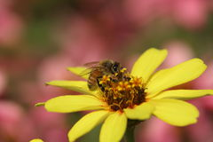 Honeybee on a yellow zinnia Stock Image