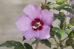 Honeybee Zapyla róży Sharon okwitnięcie Zdjęcia Stock