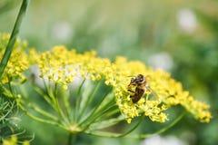 honeybee zbieracki pollen Zdjęcie Royalty Free