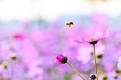 Honeybee zbliża się kwiat pod zmierzchem Zdjęcie Stock