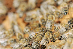 Honeybees. Royalty Free Stock Images