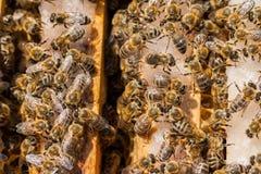 honeybees Royalty-vrije Stock Foto
