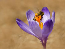 Honeybees Apis mellifera, bees in the crocuses in the spring stock photos