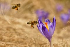Honeybees Apis mellifera, bees flying over the crocuses in the spring. On a mountain meadow in the Tatra Mountains, Poland Stock Photos