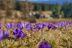 Honeybees Apis mellifera, bees flying over the crocuses in the spring Stock Photography