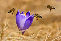 Honeybees Apis mellifera, bees flying over the crocuses in the spring Stock Images