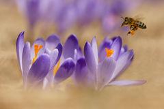 Honeybees Apis mellifera, bees flying over the crocuses in the spring Royalty Free Stock Photos
