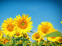 Honeybees (bess) on sunflower Royalty Free Stock Images