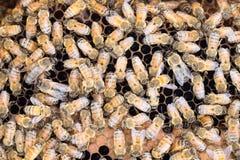 Honeybees on brood comb Stock Photo