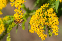Honeybees collects pollen. On goldenrod royalty free stock photos
