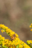 Honeybees collects pollen. On goldenrod royalty free stock photo