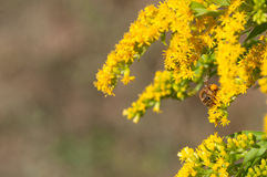 Honeybees collects pollen. On goldenrod stock photo