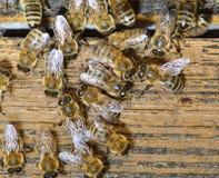 Honeybees. Stock Image