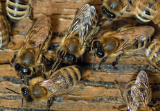 Honeybees Royalty Free Stock Images