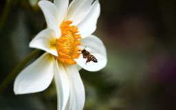 Honeybee. S eat nectar from a blooming flower Royalty Free Stock Photo