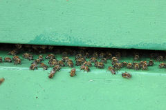 Honeybees at the entrance to a hive Stock Photo
