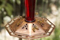 Honeybees at feeder Stock Images
