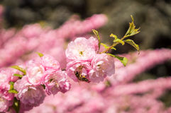 Honeybees and flowering peach trees Stock Photos