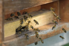 Honeybees flying into their hive. Group of honeybees flying into a vintage beehive Royalty Free Stock Image