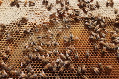 Honeybees in a Hive Royalty Free Stock Photo