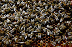 Honeybees in a hive Stock Photos