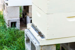 Honeybees at Hive Royalty Free Stock Photo