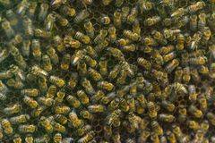 Honeybees on honeycomb Stock Images