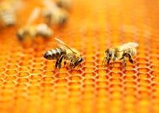 Honeybees on honeycomb stock images